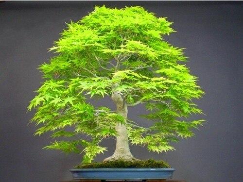 100pcs/pack Redwood Seeds Bonsai seeds Dawn Redwood Bonsai Tree Grove - Metasequoia glyptostroboides,DIY home gardening!