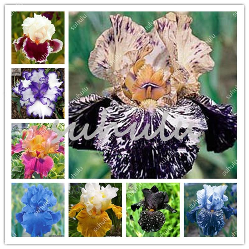 100 pz Iris bonsai, molti tipi di colore Iris in vaso Iris Orchid Sementes raro fiore perenne piante bonsai per giardino di casa