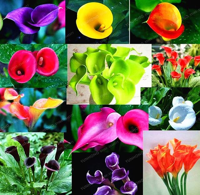 Beliebt Bevorzugt Calla Lilie Bonsai Zimmer Blumen Zantedeschia Aethiopica Bonsai @AA_66