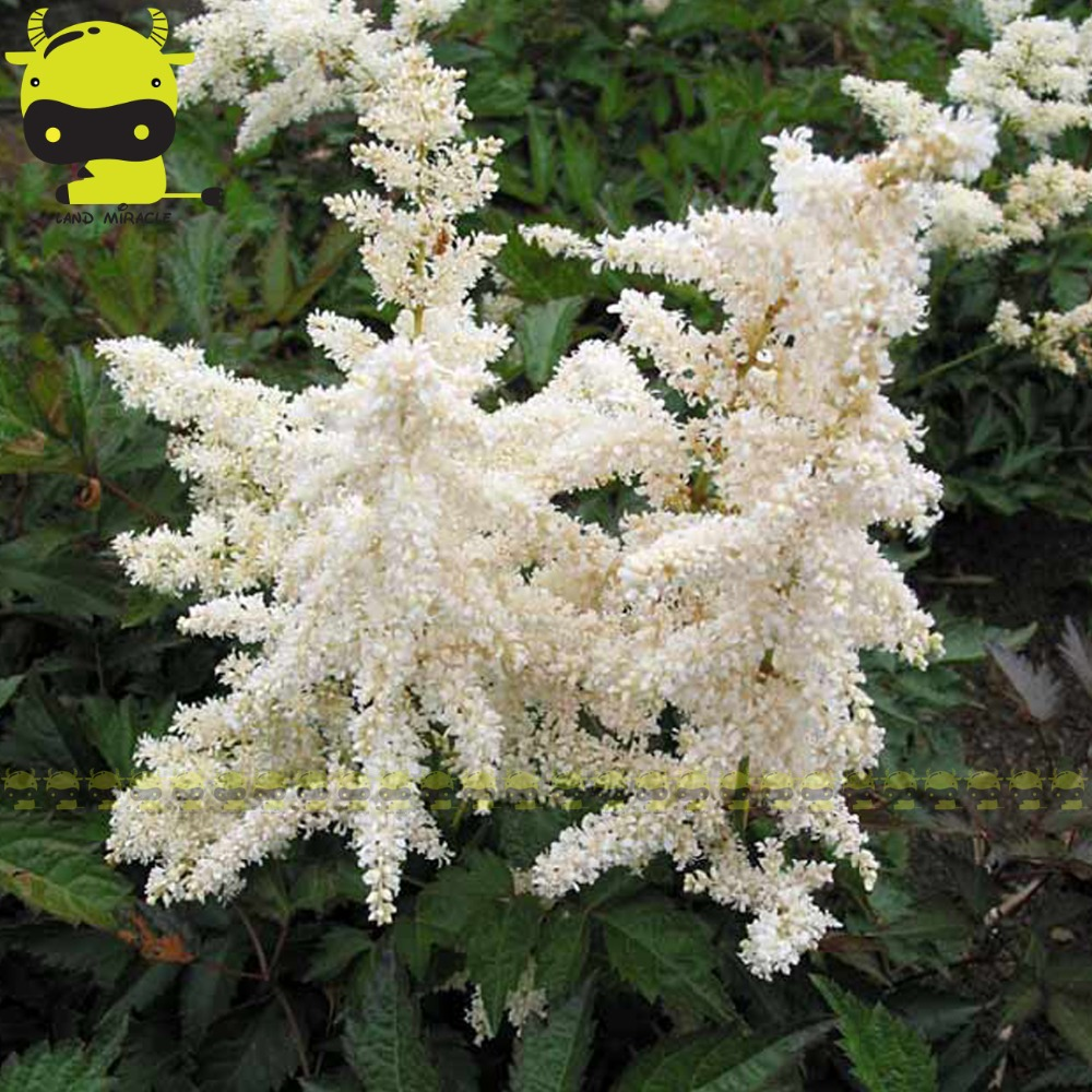 Fluffy Snow White Astilbe Chinensis Seeds 100 Seedspack Chinese