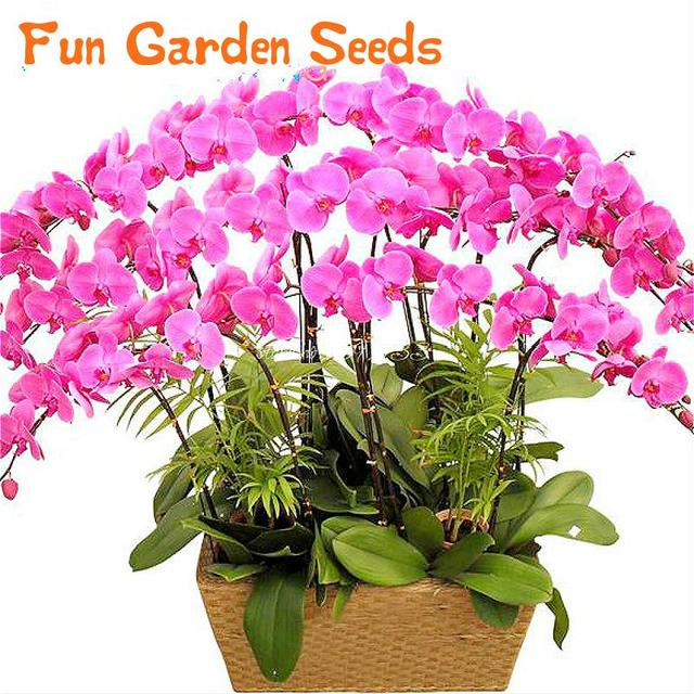 Phalaenopsis orchid seeds potted plants mixed colors Bonsai Flower ...