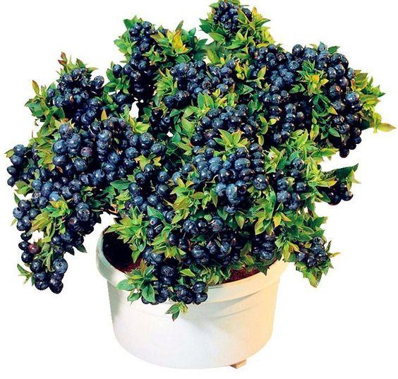 30 Pcs BlueBerry Bonsai Seedsplants Fruit Tree Highbush Blueberries DIY Countyard Bonsai Plants For Home Garden Easy To Grow B40