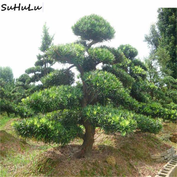 Sprzedaż! 10 sztuk rzadko kolor japoński cedr Bonsai drzewa Bonsai łatwe do roślin Bonsai dekoracja do przydomowego ogrodu Miniascape rośliny doniczkowe