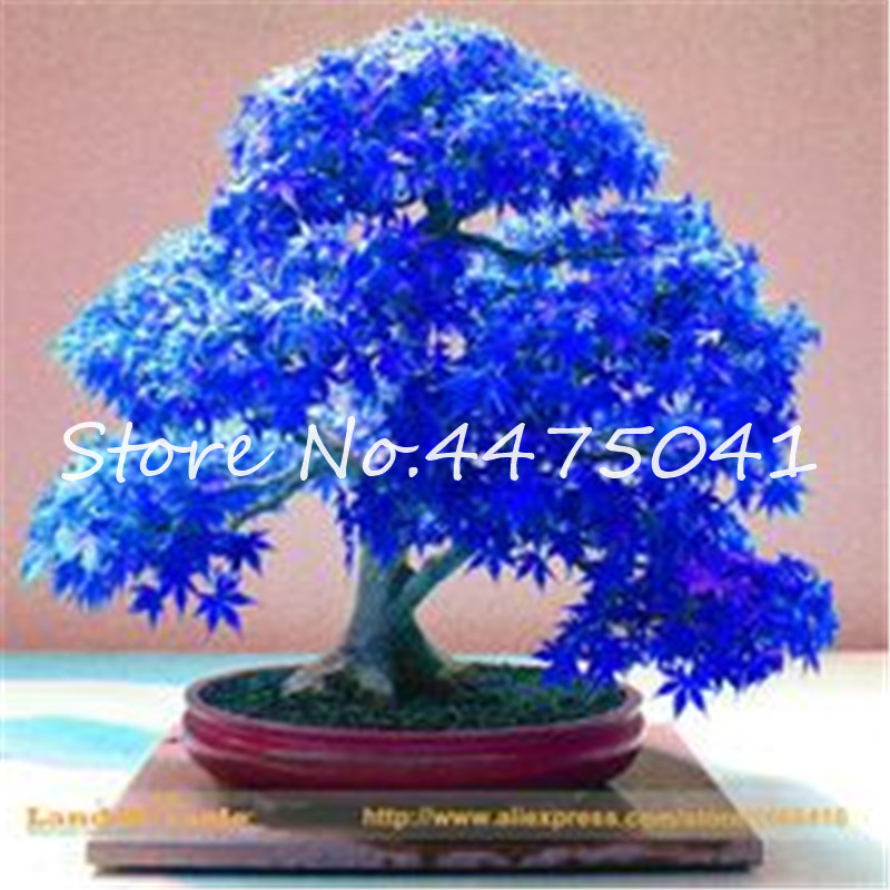50 Pcs Rainbow Maple Bonsai Tree Plants Rare Japanese