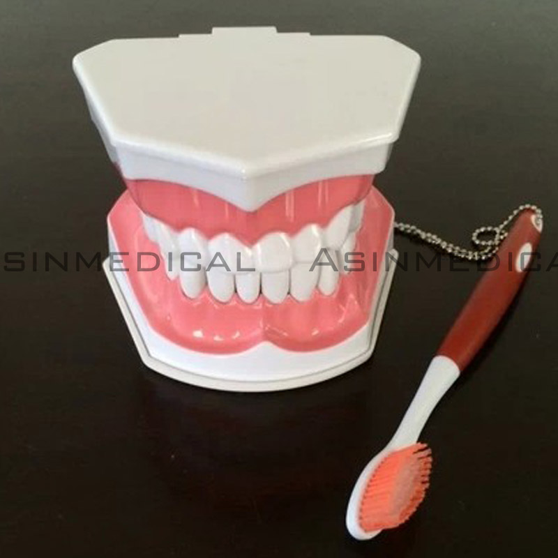 Colgate tooth model Oral teeth Model student study Model Children teeth can be pulled