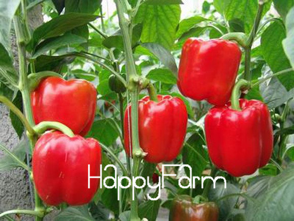 100 Seeds/bag Red Sweet Pepper Seeds vegetable seeds, High budding rate fast growth free shipping,S07NNF