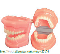 Free Shipping Natural size model teaching dental tooth teeth dentist dentistry anatomical anatomy model odontologia soarday endodontic restoration model teaching practice dentist patient communication model odontologia dentistry