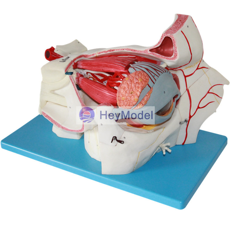 цены HeyModel Eye and Orbital Vascular Nerve Enlargement Model