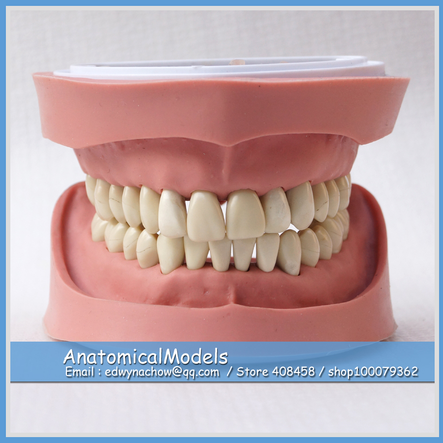 ED-DH104 Wholesale Standard K Study Teeth Model (28pcs, Soft no Screw), Medical Science Educational Teaching Anatomical Models 1 pcs dental standard teeth model teach study