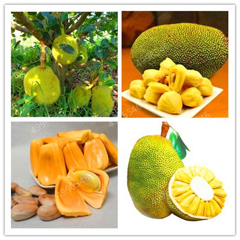 3Pcs Fresh Jackfruit Bonsai Fruit Trees Tropical Rare Giant Tree Plant Rare Miracle Fruit Garden Plant New Big Flowering Plant