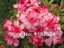 20 семена — свежий редкие » Supphisann » Adenium Obesum семена — бонсай семена