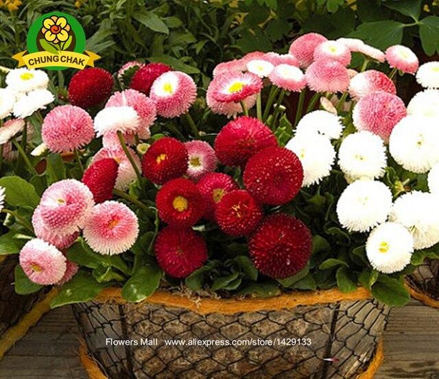 Graines De Vivaces Jardin Fleur Marguerite Graines 200 Pcs Perennis