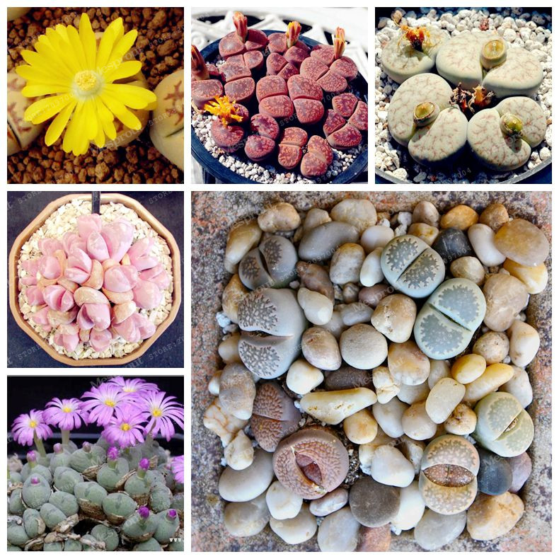 100 Seeds Lithops Pseudotruncatella Living Stone Rare Succulent Seeds DIY Home Garden Plant Seeds Easy To Grow
