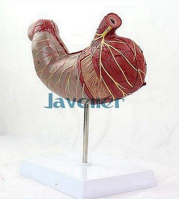Human Anatomical Anatomy Stomach Medical Model Digestive System Organ medical anatomical torso anatomical model structure human organ system internal organs large throat gasen rzjp075