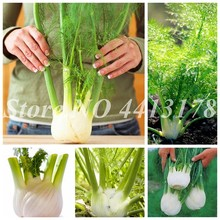 100 pcs Fennel Foeniculum vulgare Perennial herb whole plant with a special Vegetable Chinese Medicine Spices Plant for Garden(China)