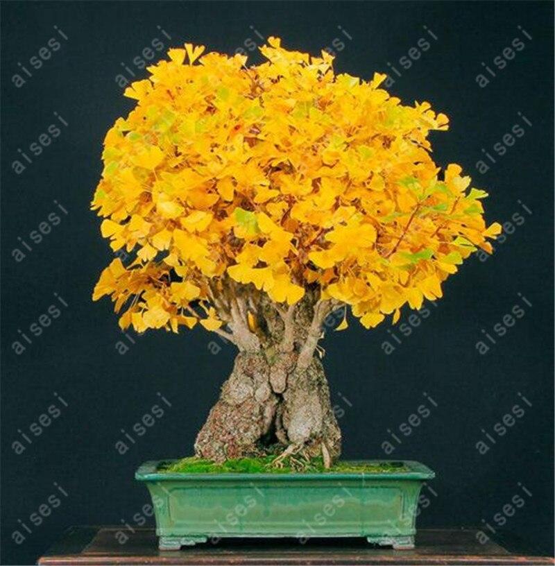 Бонсай 5 шт./партия гинкго семена, горшке балкон, посадочный сезонов, прорастания 100% семена плодов дерева семян