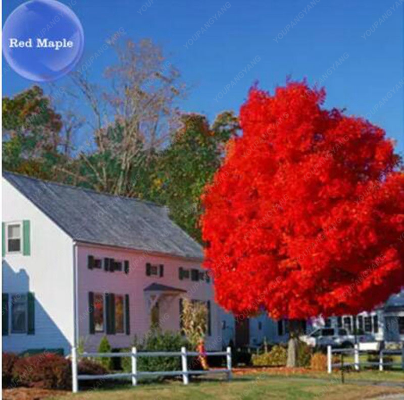 20 seeds/pack of Bonsai American Red Maple Tree Seeds Big Plants Home Garden Flower Seeds Free Shipping
