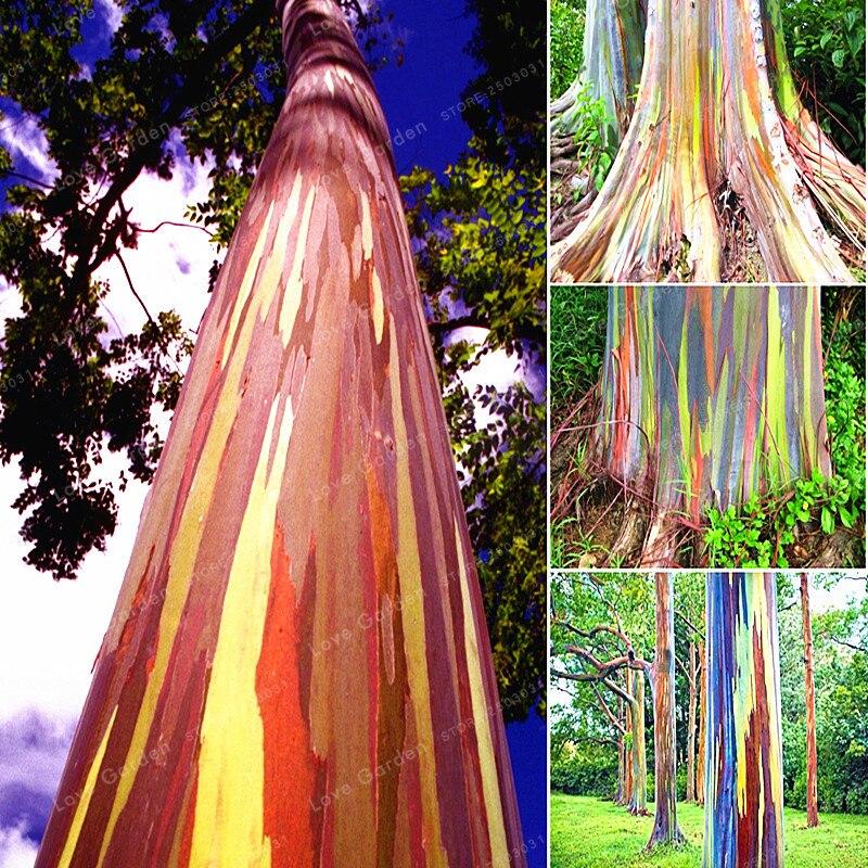 ما هي أجمل شجرة في العالم ؟ 50-pz-Rare-Arcobaleno-Eucalipto-Deglupta-Bonsai-Albero-Bonsai-In-Vaso-Cortile-Pianta-Per-Il-Giardino