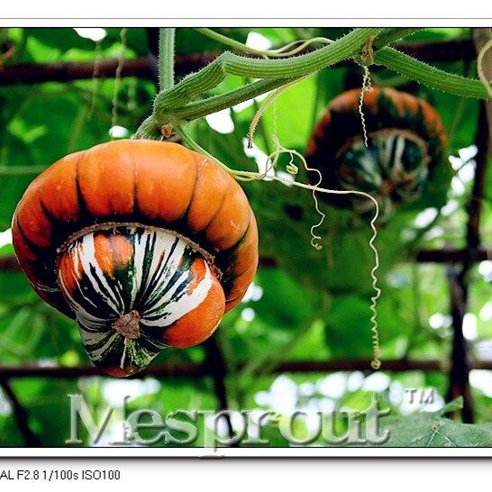 Plantas de calabaza compra lotes baratos de plantas de - Semillas de frutas y verduras ...