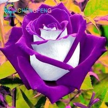 100 seeds/pack  New Rose Seeds,5 Different Colors Rare Osiria Rose Heirloom Chinese Rose Flower Seeds flowers