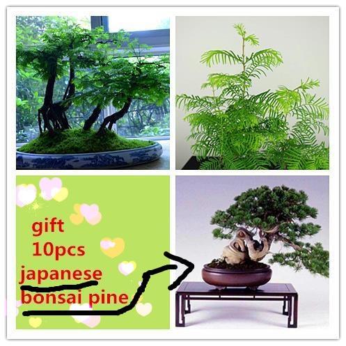 20 Dawn Redwood Bonsai Seeds Send 30 Japanese Pine Tree Seeds As Gift Forest Bonsai Tree Metasequoia Glyptostroboides