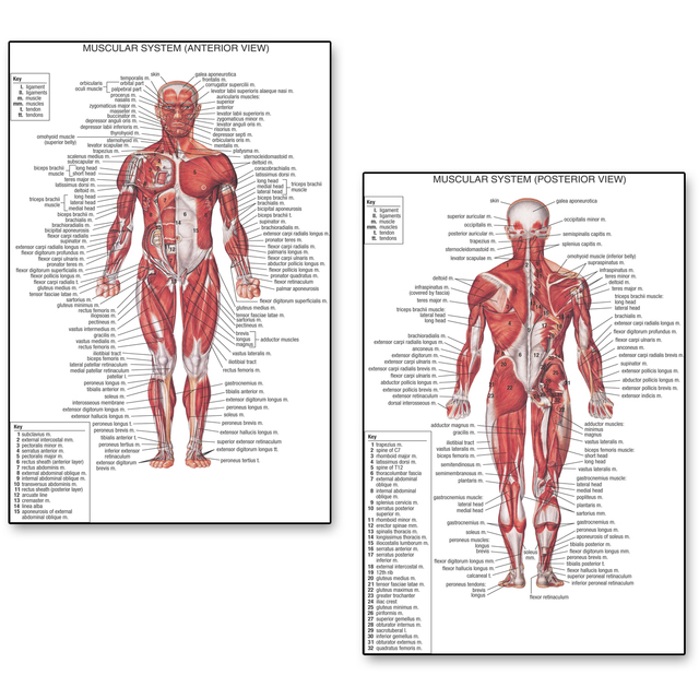 Anatomía Humana posterior anterior vista anatomía músculos sistema ...