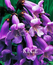 100 Seeds/Pack Big Promotion! PAULOWNIA Tomentosa Tree Seeds,Purple Flowers For Home Garden And Bonsai