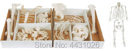 ENOVO Human.skeleton bone dispersion model skeleton specimen model art medicine pain department of orthopedics