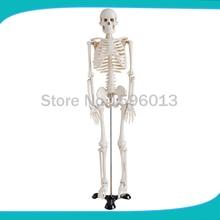 Skelett modell 85 menschliches