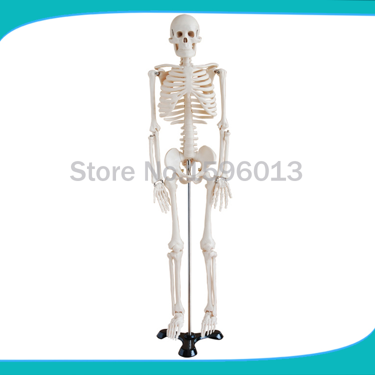 HOT  85cm Whole Body Skeleton Model, human skeleton model bix a1005 human skeleton model with heart and vessels model 85cm wbw394