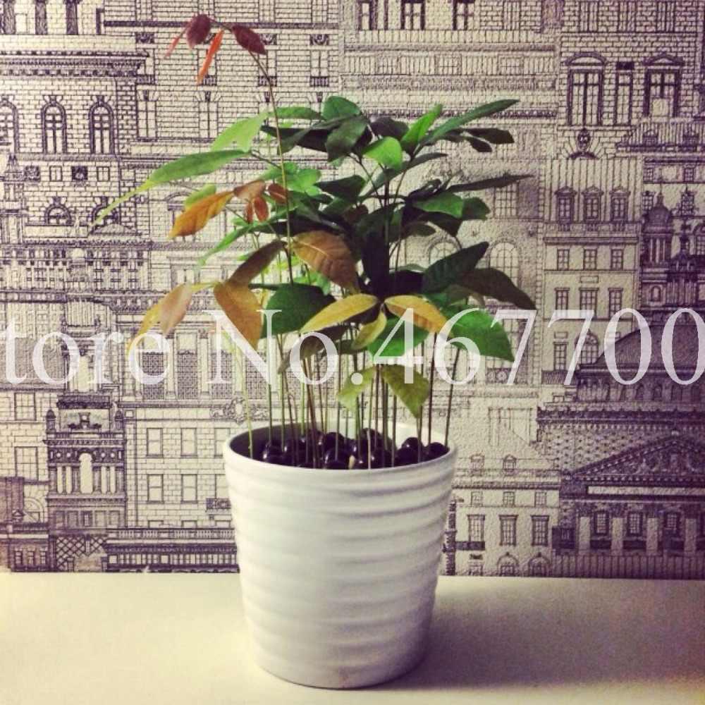 5 шт./упак. Лонган семена бонсай фруктовый Дракон глаз горшках на открытом воздухе тропические фруктовые деревья для DIY садовые растения