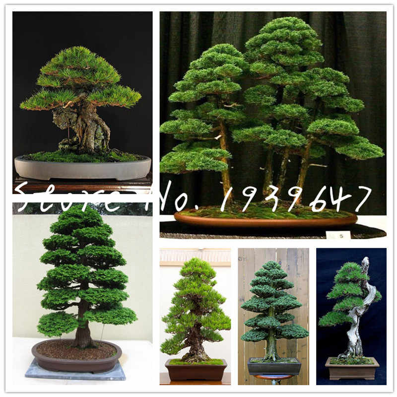 50 pcs Japanese black pine natural indoor bonsai tree wooden perennial evergreen plants for home garden decoration bonsai