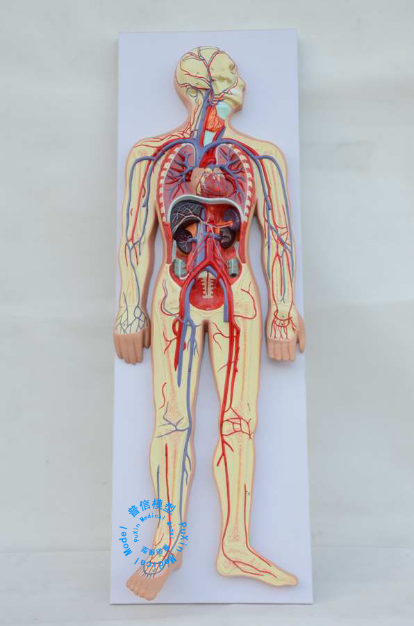 Free shipping&human body blood circulation model,heart blood vessel ...