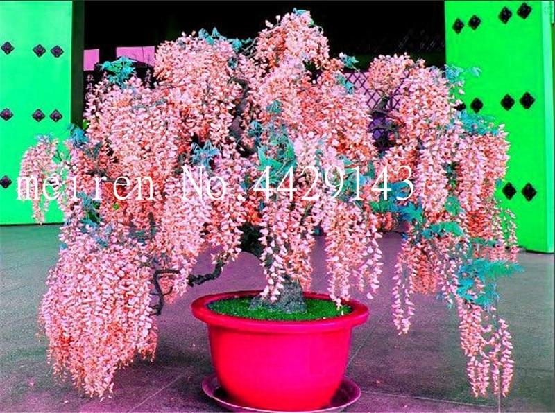 US $0 11 82% OFF|Sale! 10 pcs/bag Wisteria plants wisteria flowers bonsai  flower bonsai tree Indoor ornamental plants 100% true for home garden-in