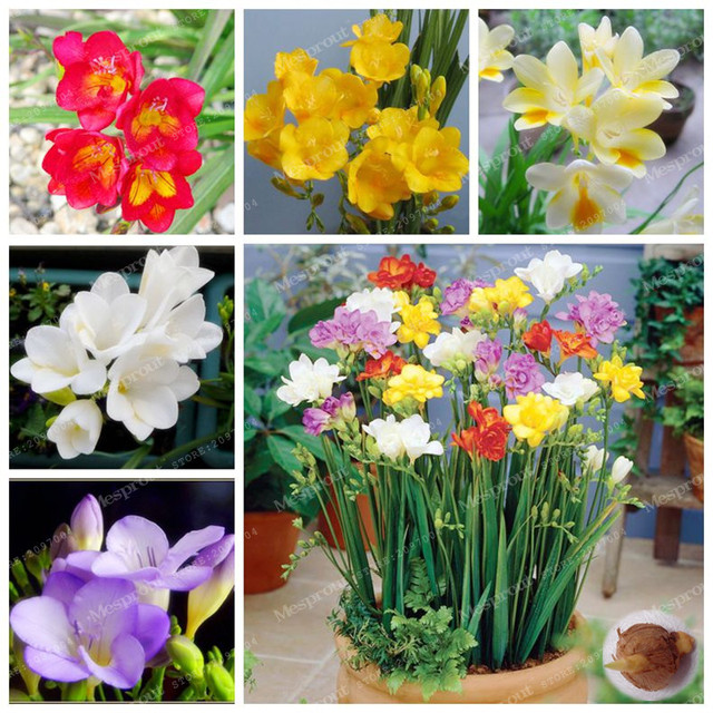 2Bulbs True Freesia Bulbs Indoor Potted Flowers Bulbs(Not Seeds ...