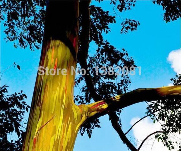 200 Rainbow Eucalyptus tree seed seed bark color is like a painting senior patio plant free shipping