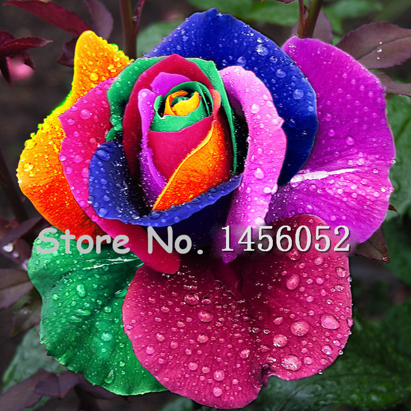 3.28 On Sale!!! 100 pcs Seeds Rare Holland Rainbow Rose Flower Home Garden Rare Flower Seeds Colorful Rose Seeds