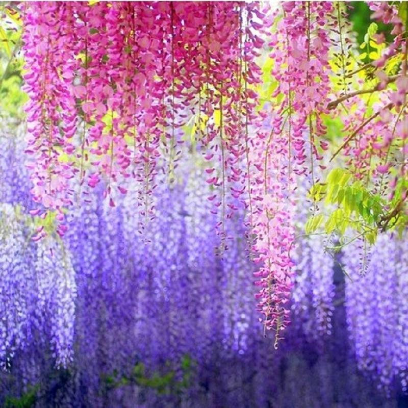 Вистерия виноград Саженцы бонсай высококлассные растительные садовые растения Цветок Бонсай 2 шт