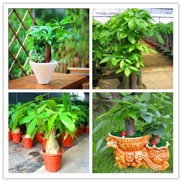 30 Pieces Mini Pachira Macrocarpa Bonsai Hawaiian Make Money Tree Plant Bonsai Pot Indoor Flowers Plant Bonsai DIY Potted Plants
