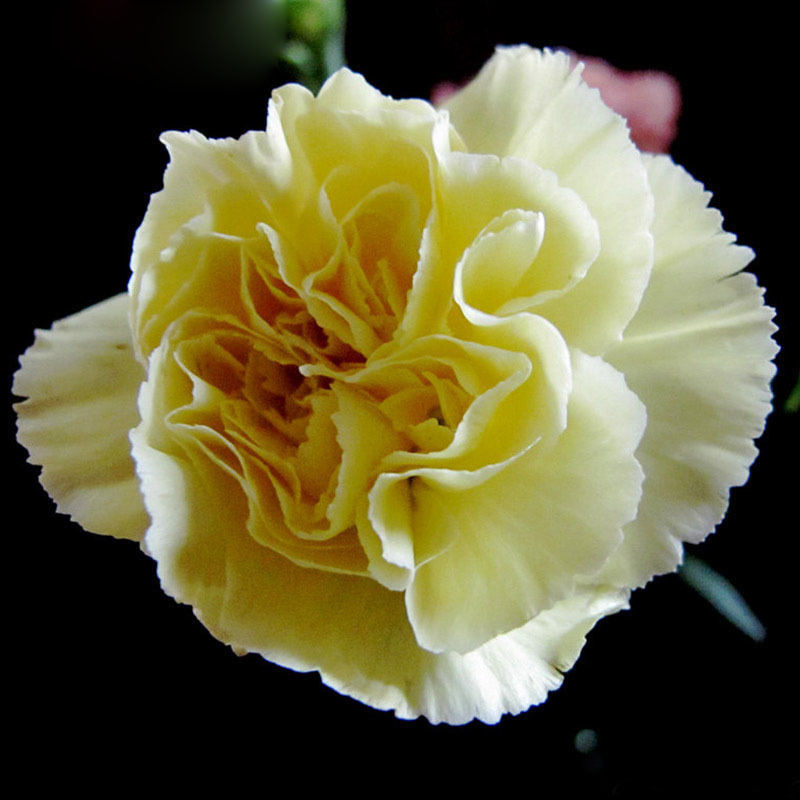 Strange Japanese White Carnation Flowers Seeds DIY Home Garden ...