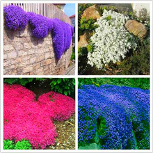 100 pcs/bag Creeping Thyme plants or Blue ROCK CRESS - Perennial Ground cover flower ,Natural growth for home garden