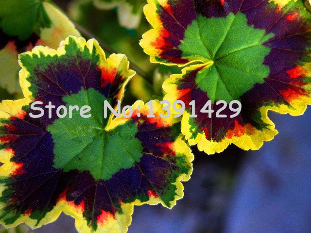 boss crazy!!! 100 pcs Rare Geranium seeds, Variegated Geranium potted winter garden flower, bonsai potted flower plant