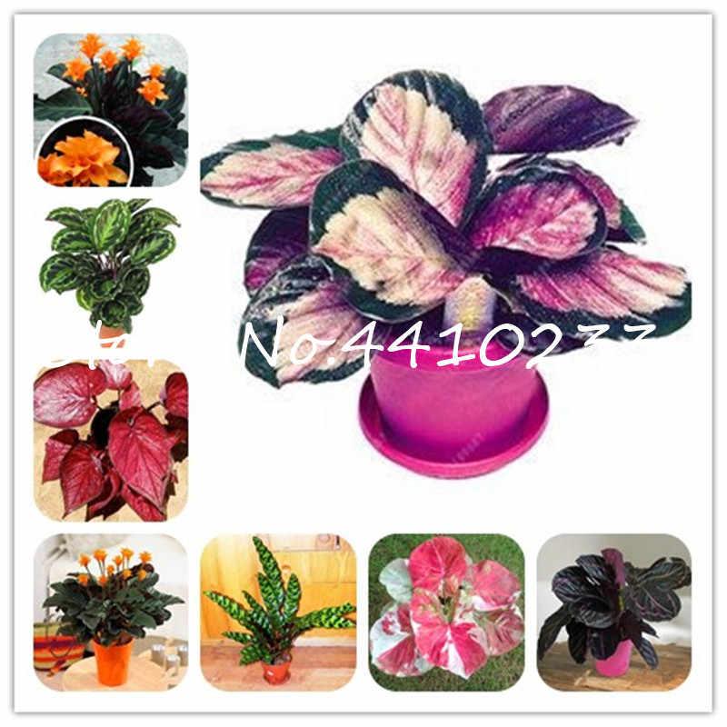 100 قطعة بونساي تايلاند Caladium من النباتات الداخلية المعمرة Caladium Bicolor زهرة النبات بونساي Colocasia لتقوم بها بنفسك لحديقة المنزل