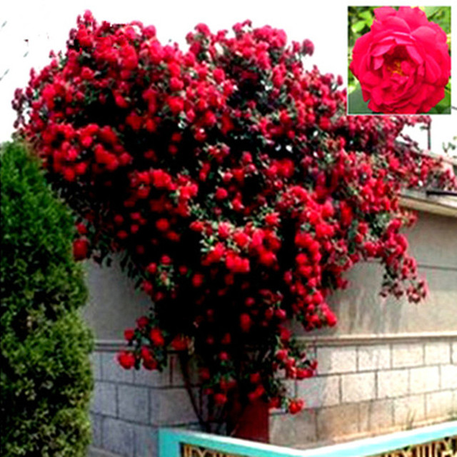 Mix Climbing Plant Polyantha Rose Seeds DIY Home Garden Courtyard Pot Flower Free Shipping 100 seeds/pack