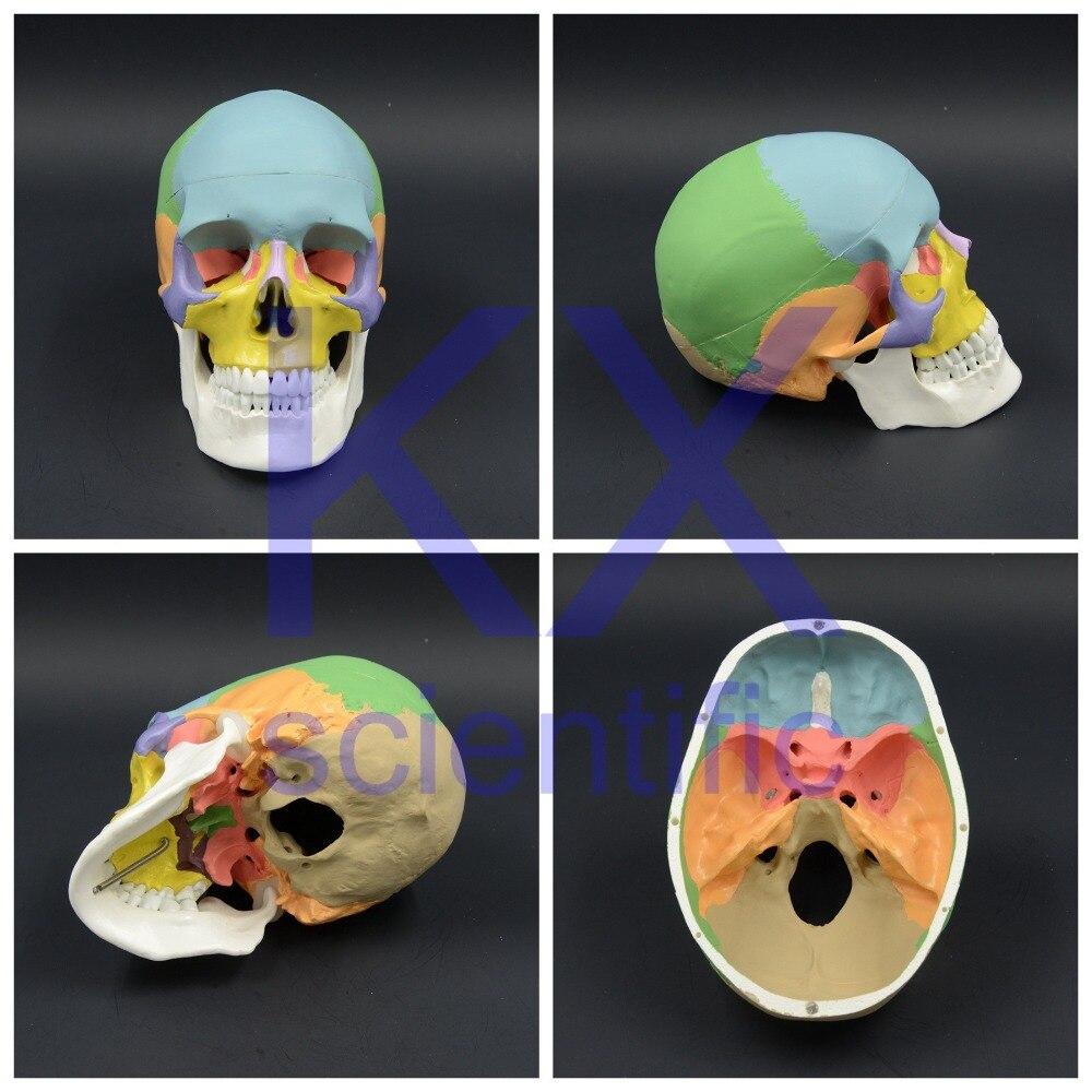 Dentist lab Dental dentista Life Size Human Skull Anatomical Anatomy ...