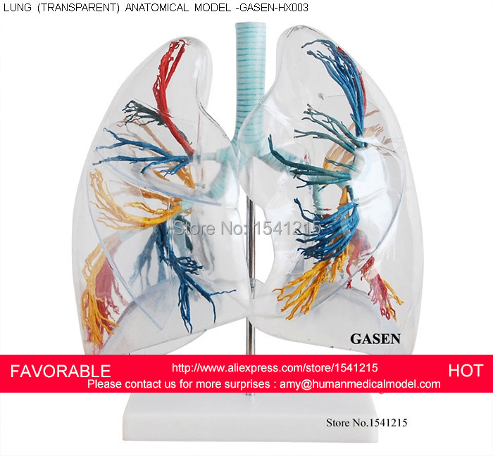 Transparent Lung Segment Model Lung Anatomy Bronchial Tree Model