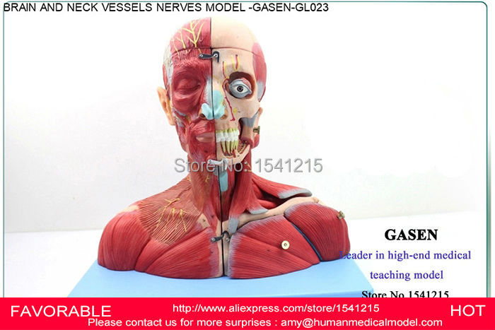 MEDICAL TEACHING BRAIN NECK ARTERY NERVE BRAIN MODEL NEUROLOGY OTORHINOLARYNGOLOGY BRAIN ANATOMY HUMAN BRAIN MODEL-GASEN-GL023 4d anatomical human brain model anatomy medical teaching tool toy statues sculptures medical school use 7 2 6 10cm
