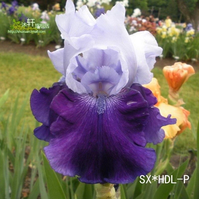 50 Unids/bolsa 24 colorsJapanese Iris Japonica Semillas de Flores, planta de Flor de