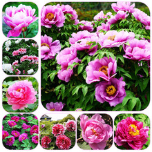 цена на 20 Pcs Paeonia Lactiflora Bonsai Rare Bonsai Peony Tree Bonsai Perennial Garden Flower Bonsai Potted Plants Multiple Color Plant