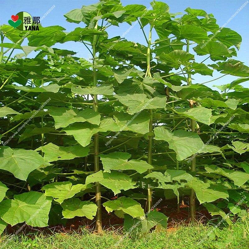 Cheap Plants That Grow Fast: Aliexpress.com : Buy 200seeds/pack Paulownia Elongata New